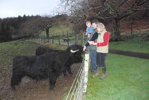 Loch Melfort Highland cattle