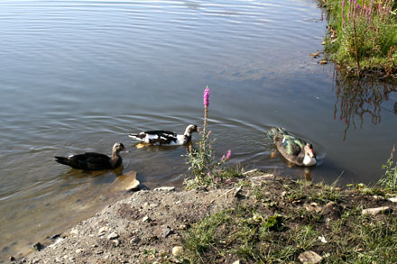 The ducks finally take to the water