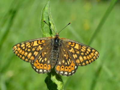 Butterfly Marsh Fritillary