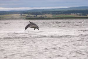Scottish dolphin jumping