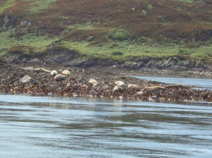 Seals on the west coast of Scotland