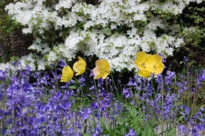 Bluebells and Welsh Poppies