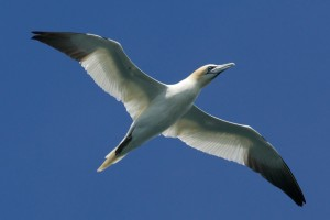 A gannet flies overhead in search of fish at the Corryvreckan