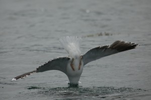 Gull diving for fish in baitball at Gulf of Corryvreckan