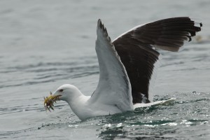 Gull emerges from baitball with fish near the Corryvreckan Whirlpool