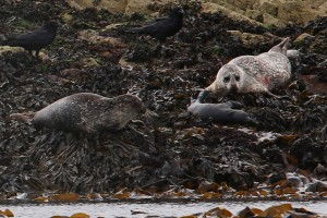 Common seals and pup on Scotland's west coast